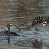 Double-crested Cormorant vs Osprey