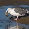 #8 in a 21 shot behavioral series<br /> <br /> A Western Gull with an Octopus, low tide feeding.<br /> Bolsa Chica Wetlands • Huntington Beach, CA
