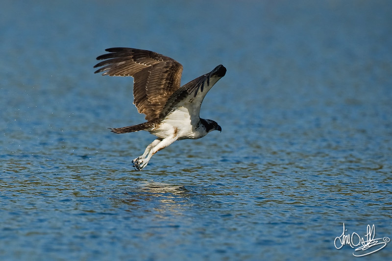 #6 in a 6 shot behavioral series<br /> <br /> Osprey cleaning its talons