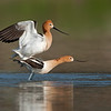 American Avocet mating sequence #2 of 5<br /> <br /> Then the actual mating happens, a very brief encounter.