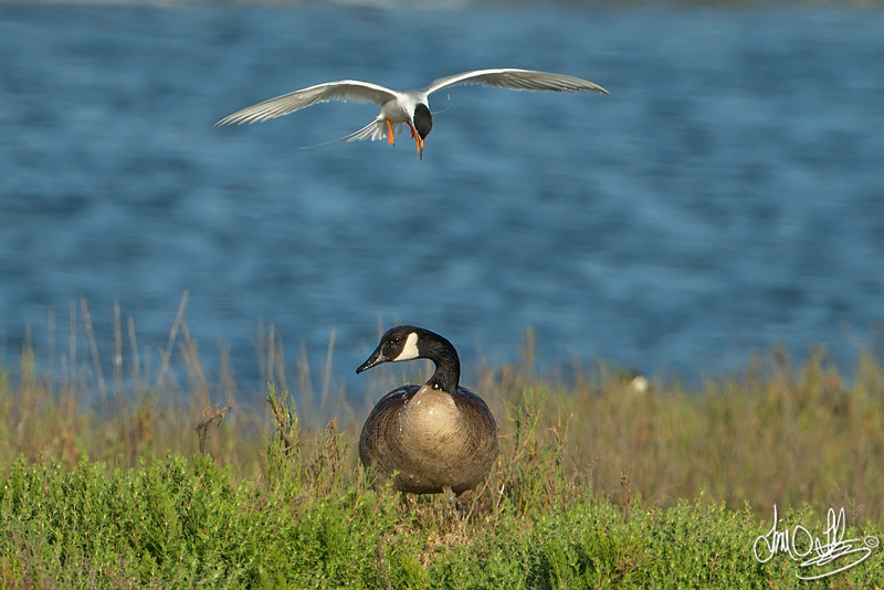 #3 in a 3 shot behavioral series <br /> <br /> A Forster's Tern trying to defend its nesting site from an unfortunate trespassing Canadian Goose<br /> Bolsa Chica Wetlands •Huntington Beach, CA