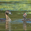 #6 in a behavioral series of 7<br /> <br /> Male Pied-billed Grebe bringing fish and feeding one of it's young