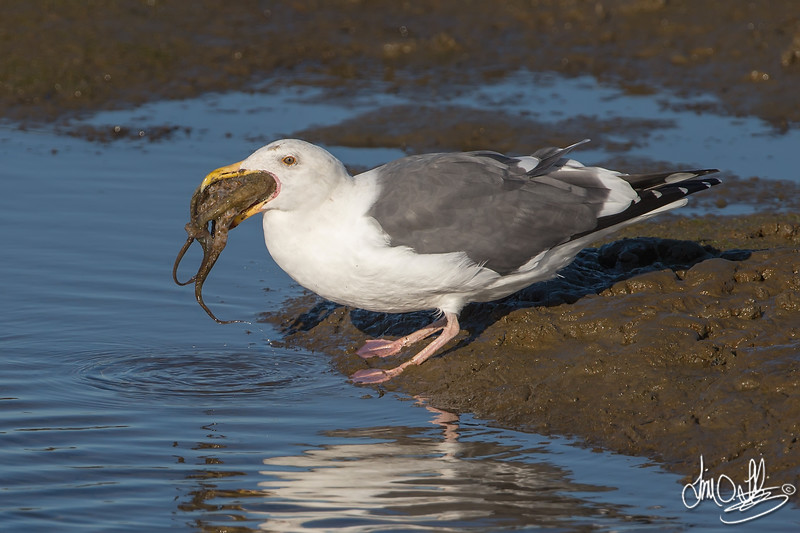 #12 in a 21 shot behavioral series<br /> <br /> A Western Gull with an Octopus, low tide feeding.<br /> Bolsa Chica Wetlands • Huntington Beach, CA