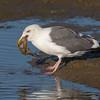 #10 in a 21 shot behavioral series<br /> <br /> A Western Gull with an Octopus, low tide feeding.<br /> Bolsa Chica Wetlands • Huntington Beach, CA