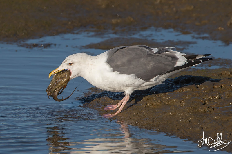 #5 in a 21 shot behavioral series<br /> <br /> A Western Gull with an Octopus, low tide feeding.<br /> Bolsa Chica Wetlands • Huntington Beach, CA
