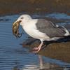 #11 in a 21 shot behavioral series<br /> <br /> A Western Gull with an Octopus, low tide feeding.<br /> Bolsa Chica Wetlands • Huntington Beach, CA
