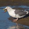 #17 in a 21 shot behavioral series<br /> <br /> A Western Gull with an Octopus, low tide feeding.<br /> Bolsa Chica Wetlands • Huntington Beach, CA