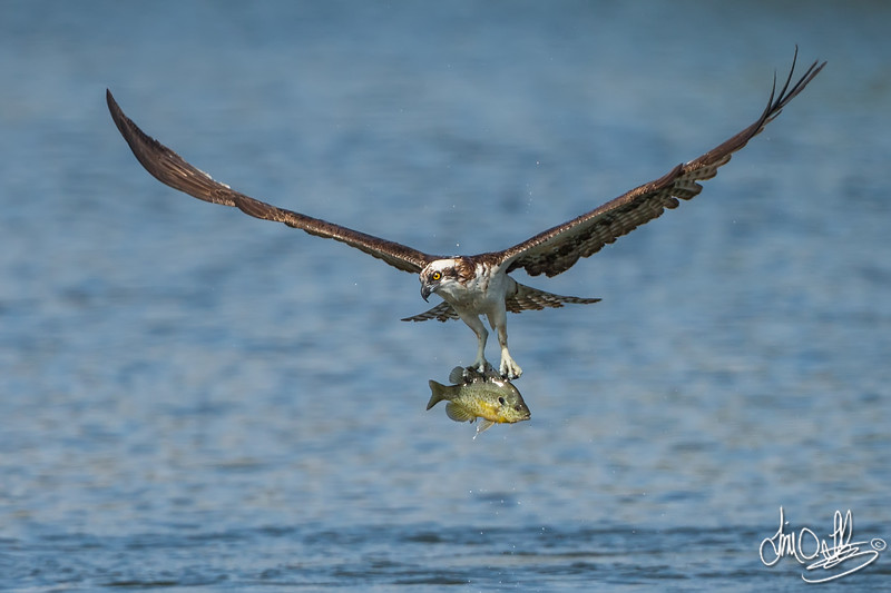 Osprey with a Bluegill