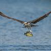 Osprey with a Bluegill