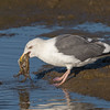 #7 in a 21 shot behavioral series<br /> <br /> A Western Gull with an Octopus, low tide feeding.<br /> Bolsa Chica Wetlands • Huntington Beach, CA