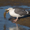 #1 in a 21 shot behavioral series<br /> <br /> A Western Gull with an Octopus, low tide feeding.<br /> Bolsa Chica Wetlands • Huntington Beach, CA