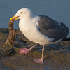 Western Gull with a freshly caught Octopus