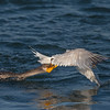 Double-crested Cormorant vs Elegant Tern
