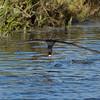 Black Skimmer catching fish 4 of 4<br /> Bolsa Chica Wetlands • Huntington Beach, CA