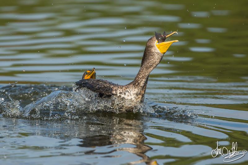 Cormorant Fight over Fish