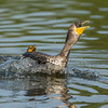 Cormorant Fight over Fish