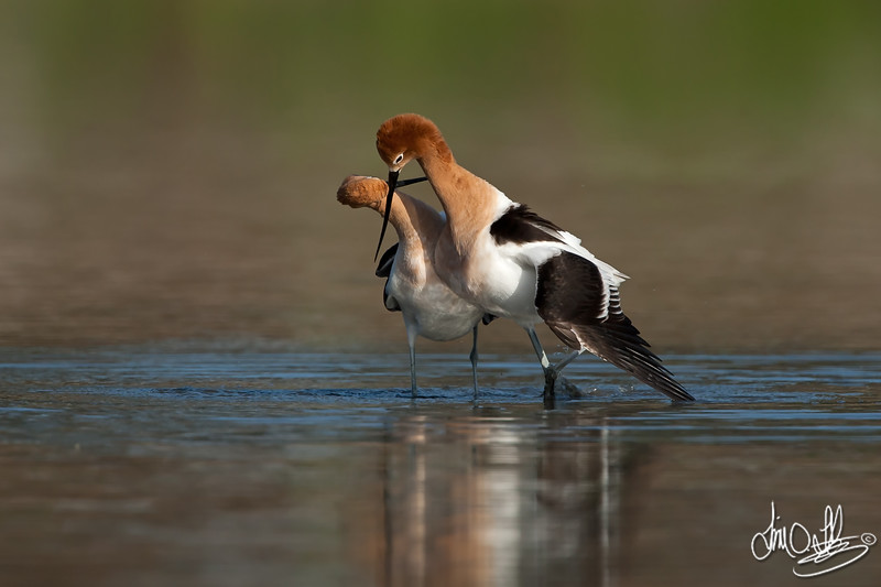 American Avocet mating sequence #4 of 5<br /> <br /> They walk quickly in a semi-cicrcle with there heads intwined.