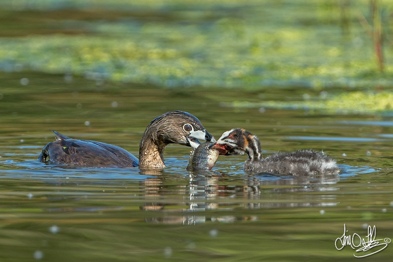 #2 in a behavioral series of 7<br /> <br /> Male Pied-billed Grebe bringing fish and feeding one of it's young