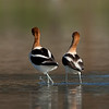 American Avocet mating sequence #5 of 5<br /> <br /> Then they suddenly part as if nothing happened.
