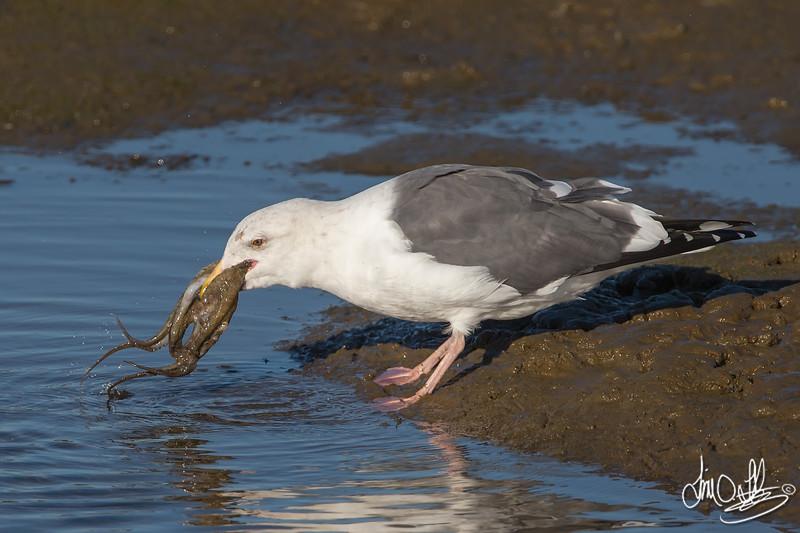 #6 in a 21 shot behavioral series<br /> <br /> A Western Gull with an Octopus, low tide feeding.<br /> Bolsa Chica Wetlands • Huntington Beach, CA