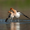 American Avocet mating sequence #3 of 5<br /> <br /> Followed by the male putting his wing over the female as if embracing her.