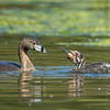 #4 in a behavioral series of 7<br /> <br /> Male Pied-billed Grebe bringing fish and feeding one of it's young