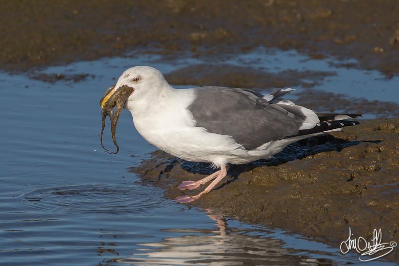 #14 in a 21 shot behavioral series<br /> <br /> A Western Gull with an Octopus, low tide feeding.<br /> Bolsa Chica Wetlands • Huntington Beach, CA