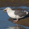 #19 in a 21 shot behavioral series<br /> <br /> A Western Gull with an Octopus, low tide feeding.<br /> Bolsa Chica Wetlands • Huntington Beach, CA