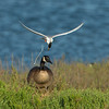 #1 in a 3 shot behavioral series <br /> <br /> A Forster's Tern trying to defend its nesting site from an unfortunate trespassing Canadian Goose<br /> Bolsa Chica Wetlands •Huntington Beach, CA