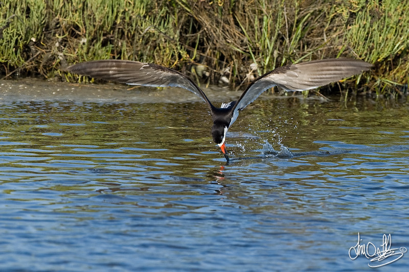 Black Skimmer catching fish 3 of 4<br /> Bolsa Chica Wetlands • Huntington Beach, CA