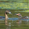 #3 in a behavioral series of 7<br /> <br /> Male Pied-billed Grebe bringing fish and feeding one of it's young