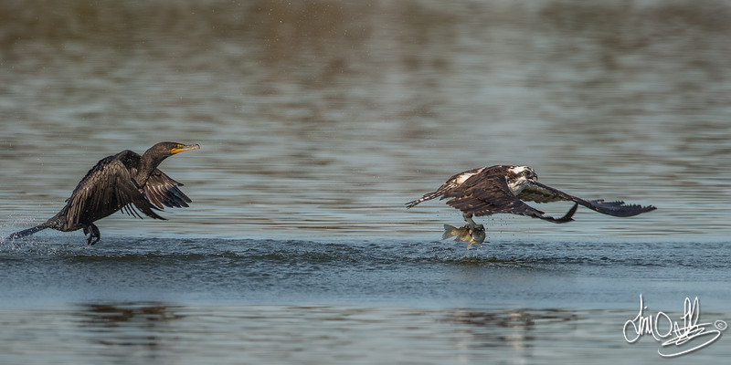 Double-crested Cormorant vs Osprey