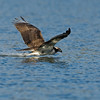 #2 in a 6 shot behavioral series<br /> <br /> Osprey cleaning its talons