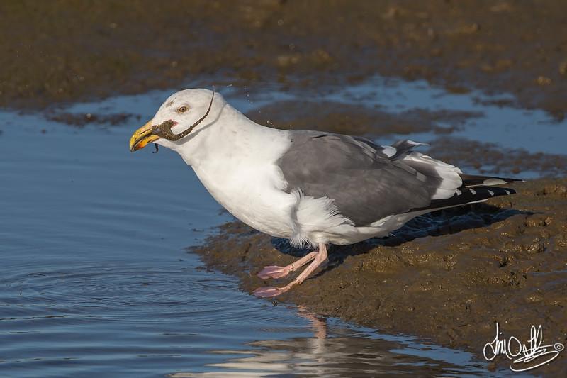 #18 in a 21 shot behavioral series<br /> <br /> A Western Gull with an Octopus, low tide feeding.<br /> Bolsa Chica Wetlands • Huntington Beach, CA