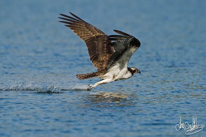 #4 in a 6 shot behavioral series<br /> <br /> Osprey cleaning its talons