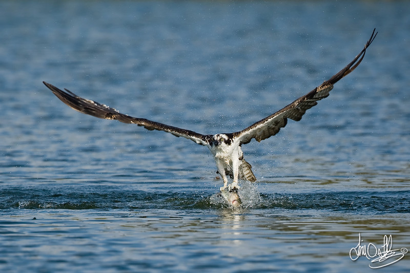 Osprey dive sequence 4 of 6