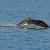 #3 in a 6 shot behavioral series<br /> <br /> Osprey cleaning its talons