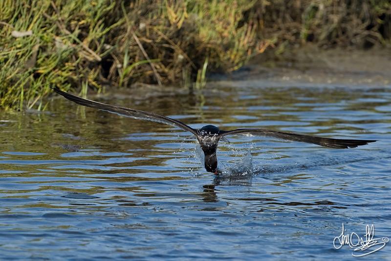 Black Skimmer catching fish 2 of 4<br /> Bolsa Chica Wetlands • Huntington Beach, CA