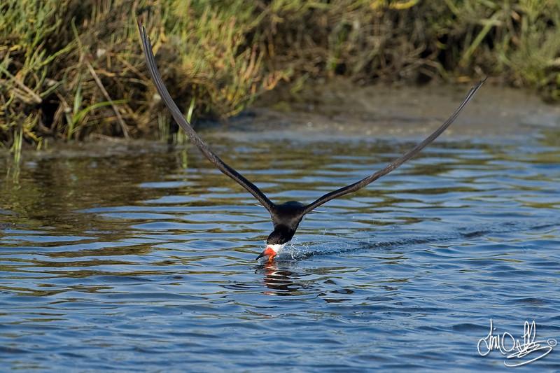 Black Skimmer catching fish 1 of 4<br /> Bolsa Chica Wetlands • Huntington Beach, CA