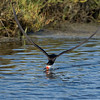Black Skimmer catching fish 1 of 4<br /> Bolsa Chica Wetlands • Huntington Beach, CA