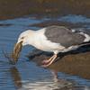 #2 in a 21 shot behavioral series<br /> <br /> A Western Gull with an Octopus, low tide feeding.<br /> Bolsa Chica Wetlands • Huntington Beach, CA