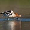 American Avocet mating sequence #1 of 5<br /> <br /> First the male jumps from side to side splashing water while the female wait patiently.