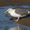 #9 in a 21 shot behavioral series<br /> <br /> A Western Gull with an Octopus, low tide feeding.<br /> Bolsa Chica Wetlands • Huntington Beach, CA