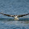 Osprey dive sequence 3 of 6