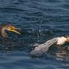 Double-crested Cormorant vs Elegant Tern