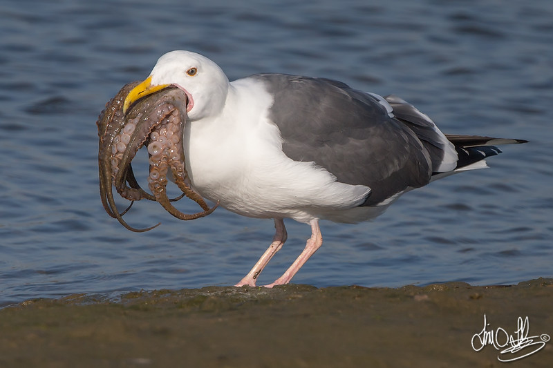 Western Gull catching and eating an octopus