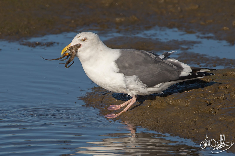 #16 in a 21 shot behavioral series<br /> <br /> A Western Gull with an Octopus, low tide feeding.<br /> Bolsa Chica Wetlands • Huntington Beach, CA