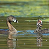 #7 in a behavioral series of 7<br /> <br /> Male Pied-billed Grebe bringing fish and feeding one of it's young