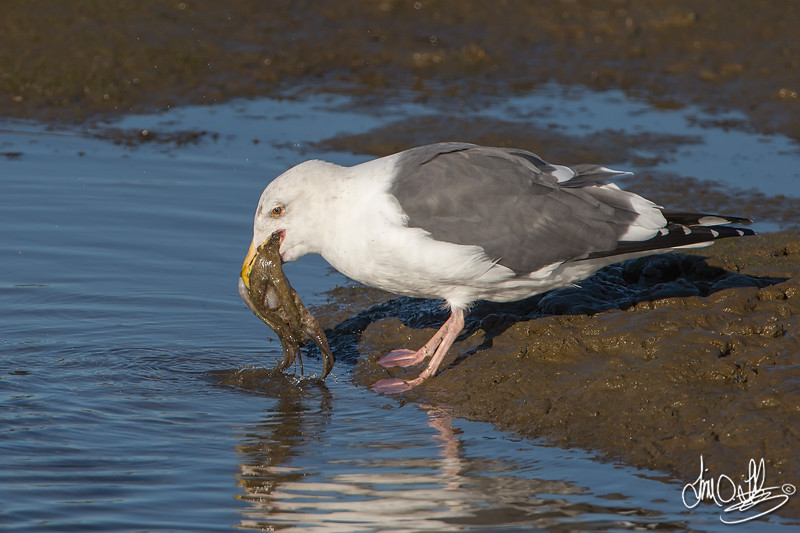 #3 in a 21 shot behavioral series<br /> <br /> A Western Gull with an Octopus, low tide feeding.<br /> Bolsa Chica Wetlands • Huntington Beach, CA
