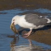 #3 in a 21 shot behavioral series<br /> <br /> A Western Gull with an Octopus, low tide feeding.<br /> Bolsa Chica Wetlands • Huntington Beach, CA